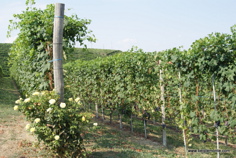 the Nebbiolo grapevines, Piedmont, Italy