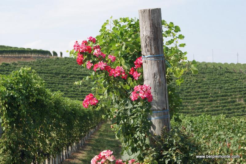 Barbaresco viveyard, Piedmont, Italy