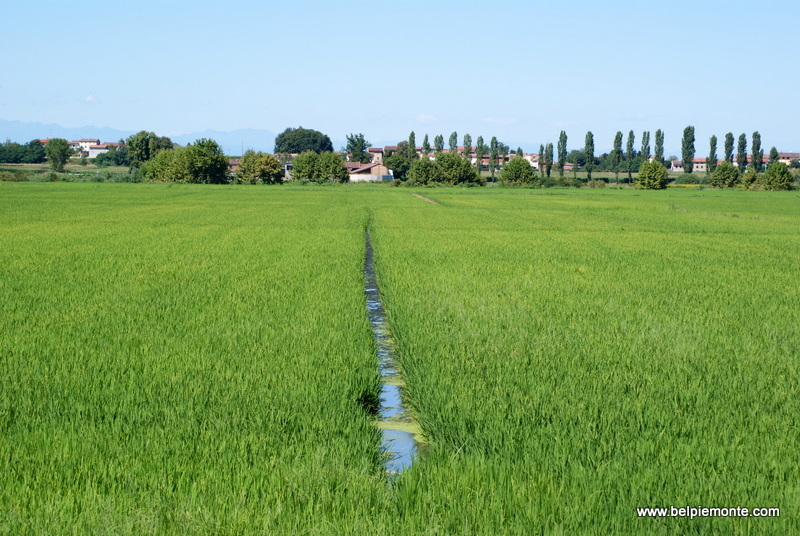 The fields of rice in Vercelli, Piedmont, Italy