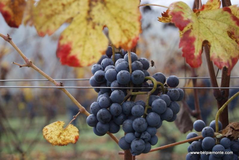 Nebbiolo grape variety, Piedmont, Italy