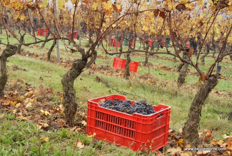 Nebbiolo variety, Piedmont, Italy