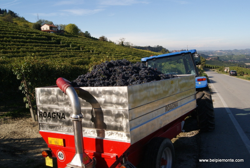 Harvest time in the Langhe, Piedmont, Italy