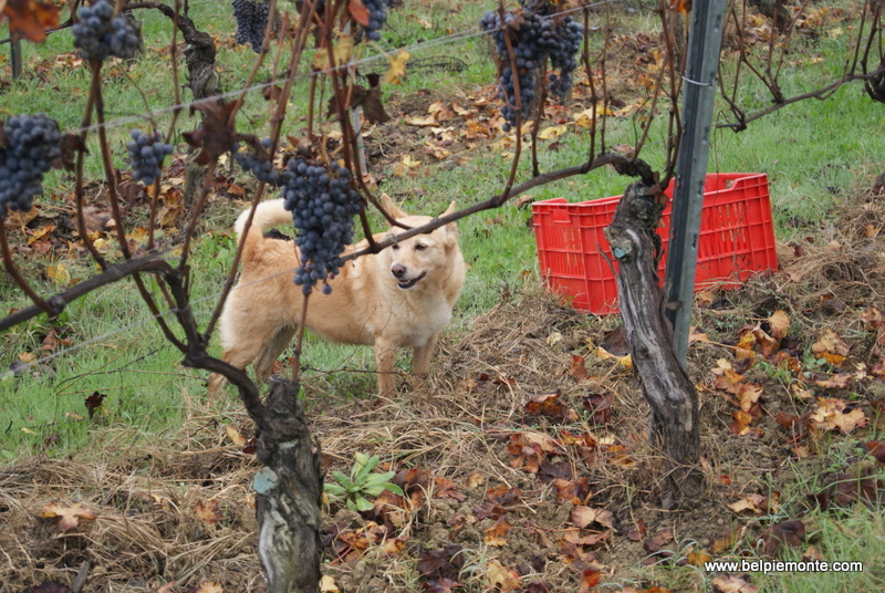 Nebbiolo harvest in the Rivetto vineyard, Piedmont, Italy