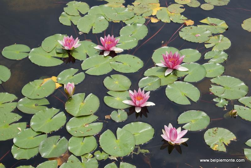 lilie wodne w ogrodzie na wysepce Isola Bella