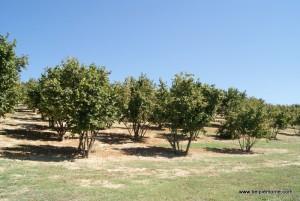 krzewy orzecha laskowego, Langhe, Piemont, Włochy