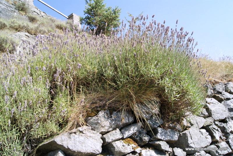 Forte di Fenestrell - spontanicznie rosnąca lawenda