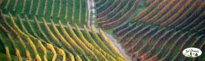 Winorośl w Langhe, Piemont, Włochy