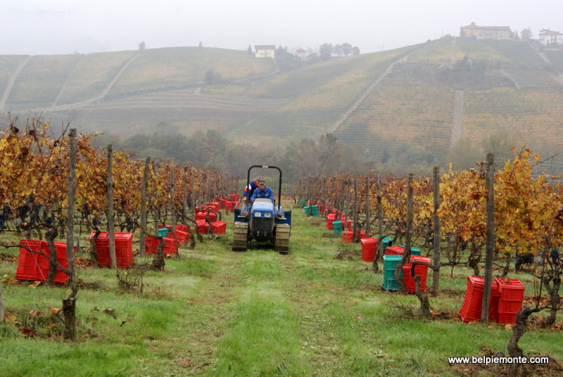 Winobranie w winnicy Rivetto, Piemont, Włochy
