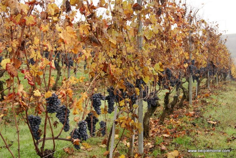Winogrona nebbiolo, Langhe, Piemont, Włochy