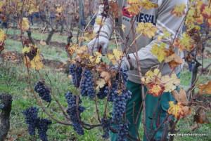 Winobranie nebbiolo, winnica Rivetto, Piemont, Włochy
